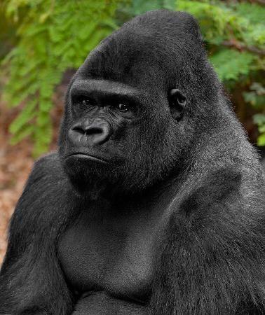 One the park's gorillas.