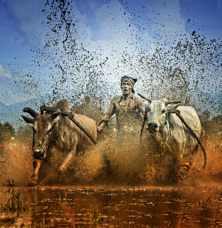 A stupendous action photograph of a man holding on to sprinting cows for dear life as mud splashes into his face as part of Pacu Jawi racing. Image by Ayie Permata Sari.