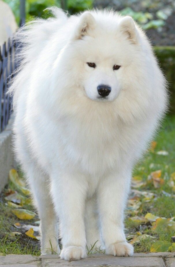 What a beautiful Samoyed with sweet soft eyes.