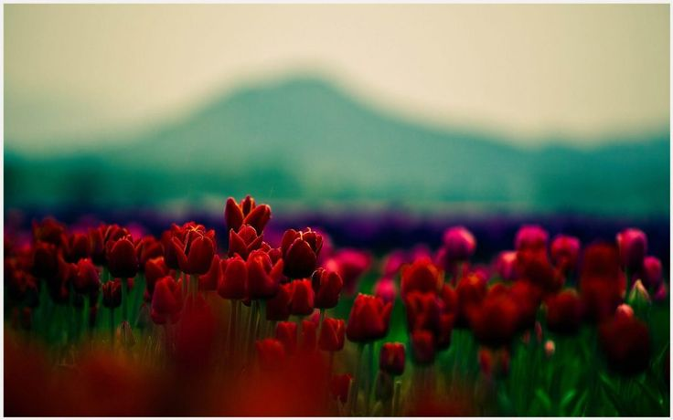 Red Tulips Flower Field Wallpaper   red tulips flower field wallpaper 1080p, red tulips flower field wallpaper desktop, red tulips flower field wallpaper hd, red tulips flower field wallpaper iphone