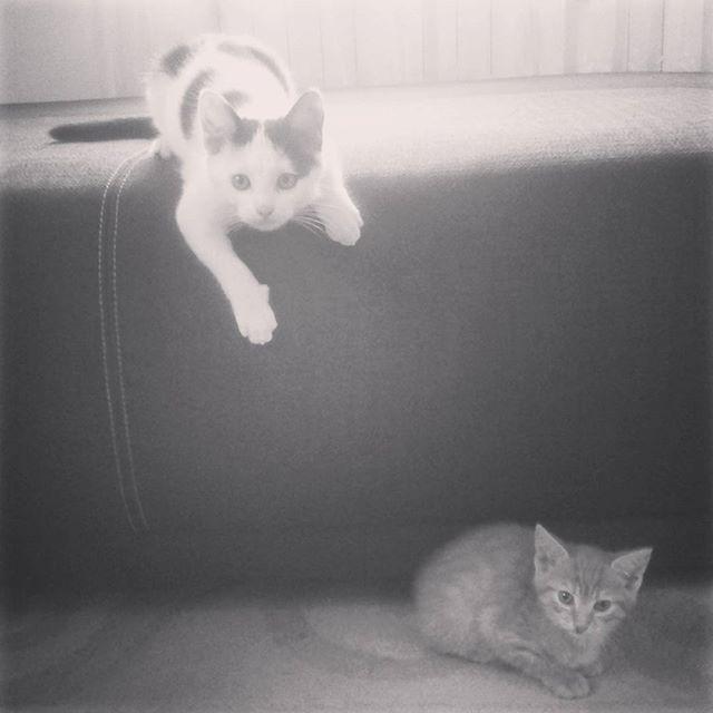 Zawieranie nowych znajomości czasem łatwe nie jest #koty #noweznajomości #przyjazniztegoniebedzie #obyobeszlosiebezwalki #kocurki #nowydomrudego #cats #home