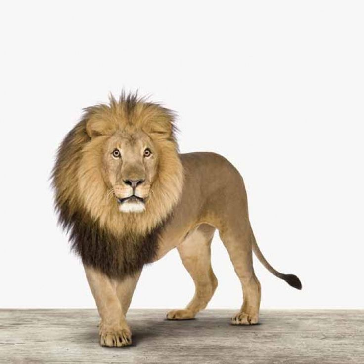 Leeuw voor aan de muur in je woonkamer of stoere jongenskamer.    wanddecoratie