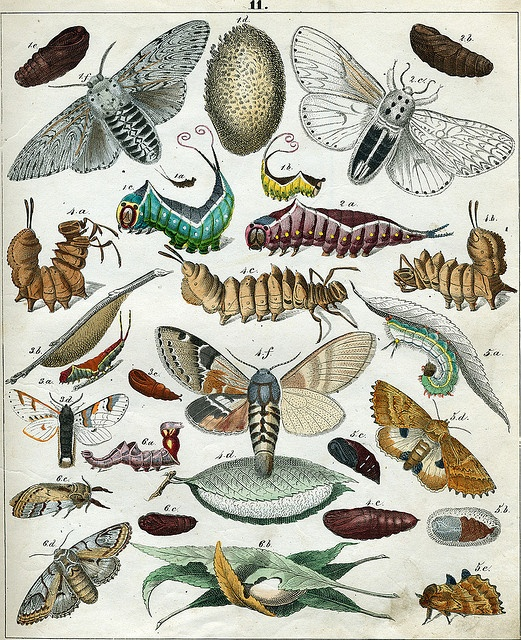 Berge's Schmetterlinge, plate 11 by dd21207, via Flickr