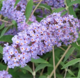 The Nanho Blue Buddleia Plant offers fragrant lavender-blue flowers that appear in summer and bloom until frost. It has narrow. silver-green. willow-like foliage on plants that are a bit more compact than other selections. Great for attracting butterflies and hummingbirds. Plants benefit from a late-winter pruning. Often slow to break dormancy in spring. Because it is grown in a larger container, Nanho Blue will make an immediate impact in your landscaping.  4' H x 3' W, Zone 5-9, Su...