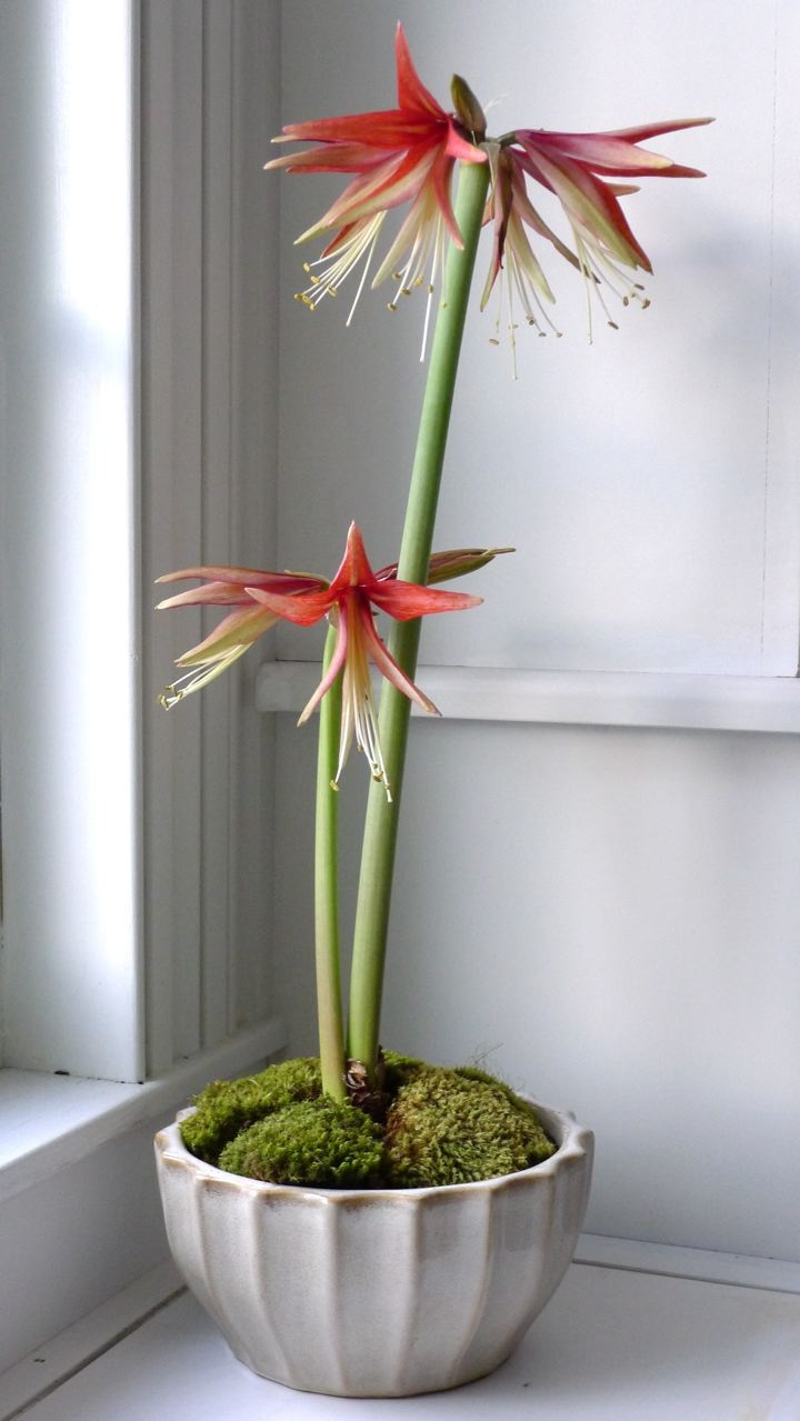 best amarylis images on Pinterest Amaryllis bulbs Beautiful