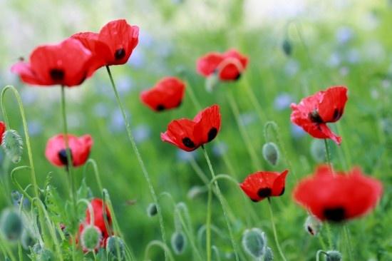 Poppies. My favorite flower.