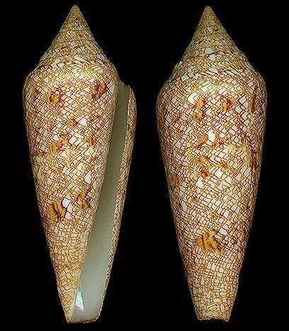 Cylindrus gloriamaris    Chemnitz, J.H., 1777 Glory-of-the-Sea Cone Shell size 70 - 162 mm Philippines & Malaysia - Samoa & Fiji