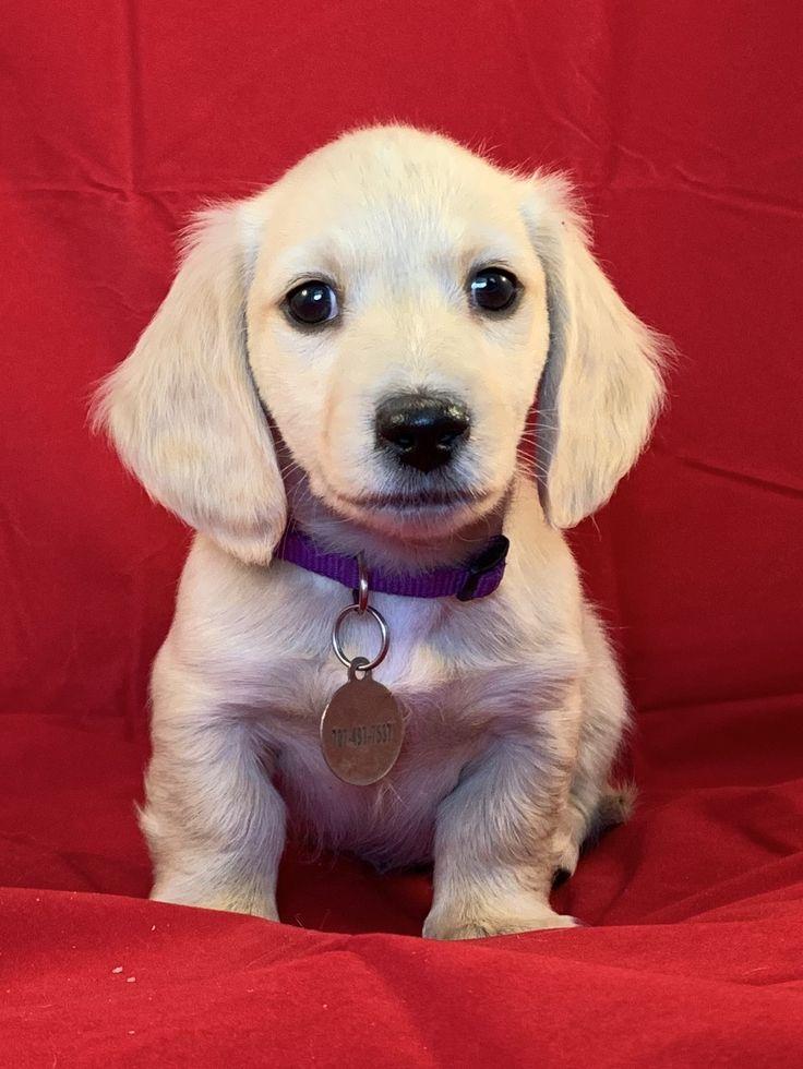 Eli, pale cream longhair miniature dachshund in 2020