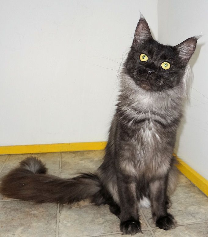 Maine coon us