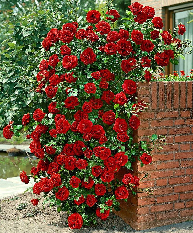 Hmm, I wonder if I could make enough space for a climbing rose vine against the wall..