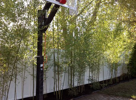 Bamboo Plants Privacy Hedges House Pinterest Bamboo