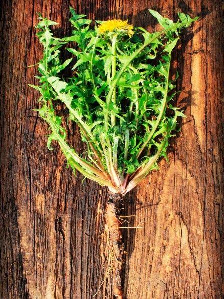 Ob als Tee, Sirup, Salat... seine Blüten, seine Wurzeln... Löwenzahn wächst überall und seine Wirkung wird von den meisten komplett unterschätzt. So gesund ist Löwenzahn wirklich!