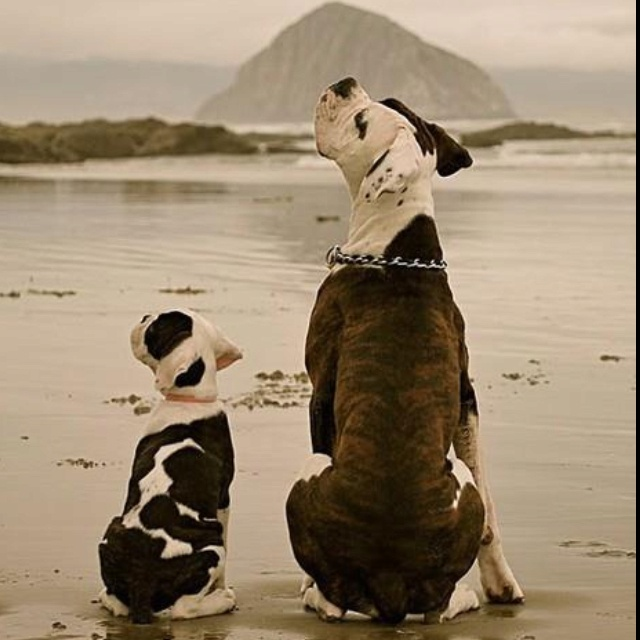 .American Bulldogs, Puppies, Friends, Boxers Dogs, Sons, Pets, At The Beach, Morro Bays, Animal