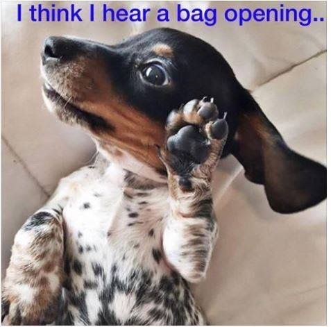 .Baby dachshund.