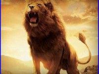 Lion Fight Wallpaper 272 Background