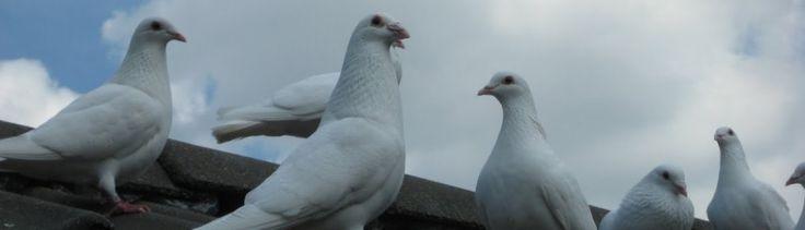 Witte duiven tijdens een #uitvaart