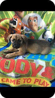 Carson, CA - Corgi/Great Dane Mix. Meet TATE, a puppy for adoption. http://www.adoptapet.com/pet/17014186-carson-california-corgi-mix