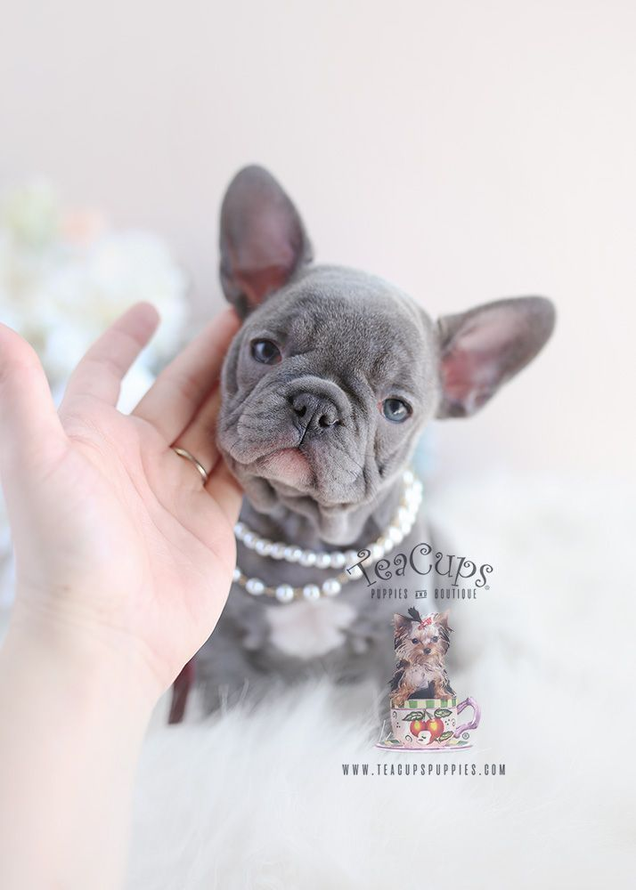 Lilac French Bulldog Puppy By Teacup Puppies And Boutique Frenchbulldog Frenchie Bluefrenchie B Bulldog Puppies Lilac French Bulldog French Bulldog Puppies