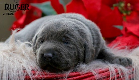 Silver Labrador Breeders, Silver Lab puppies, Charcoal Lab puppies, Tennessee