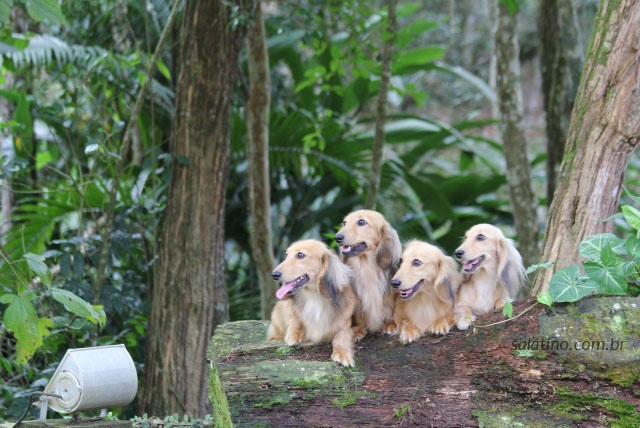 Salatino's Dachsunds    #dog #salatino #clubesalatino #canil #perro #dogs #cute #love #nature #animales #cute #filhote #dachshund #teckel #golden #dachshundlonghair #dach #teckelpelolongo #filhote