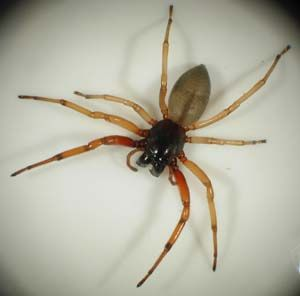 Identifying a Brown Recluse Spider | if you have ever seen a recluse bite, you will want to be able to identify one. note: the spider above is not a recluse.