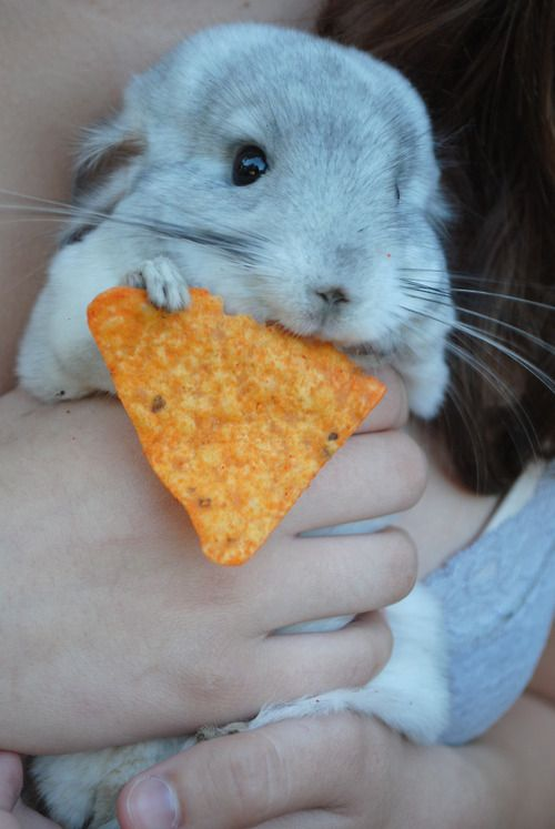 "My exact words upon seeing this, ""It's a Chinchilla!  I have one of those!""It's eating a dorito.... Omg it is so cute....... ^_^"
