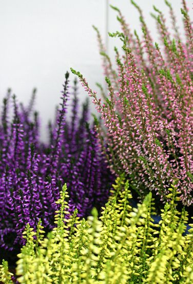heather or in cape Town,, would be family of our indigenous fynbos or flora..