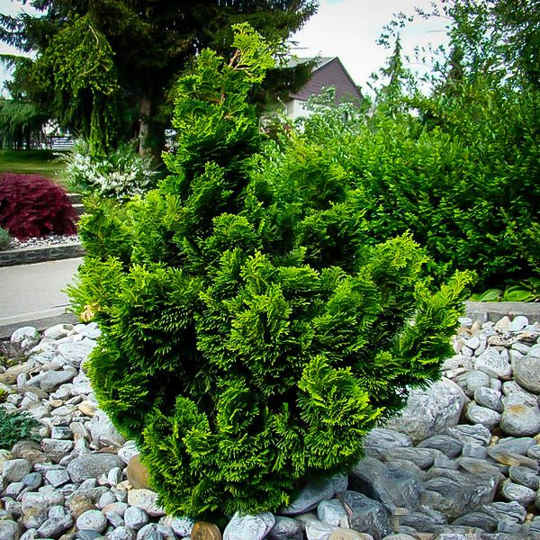 Best 25 hinoki cypress ideas on pinterest dwarf for Slow growing trees for front yard