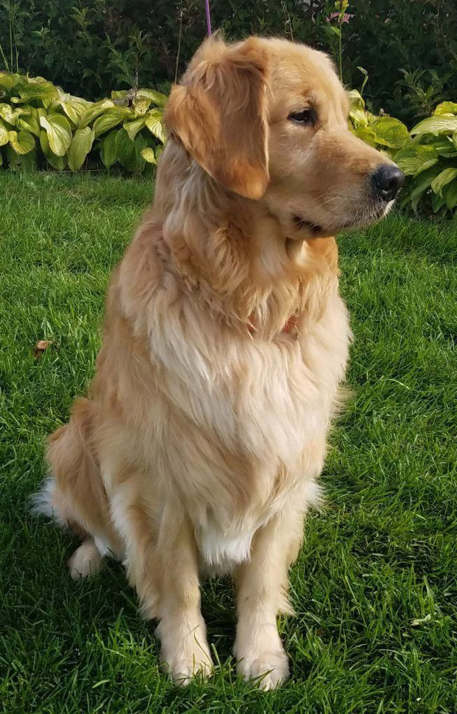 Scientifically Raising Golden Retriever Is The Most Important