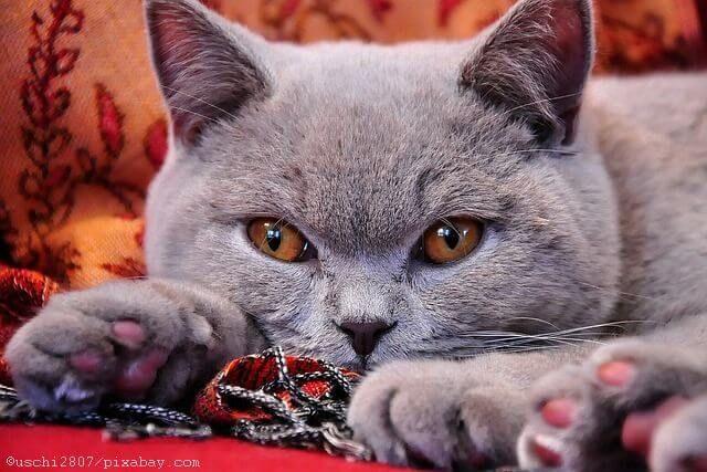Hier erfahren Sie alles Wesentliche, was sie über das Wesen und den Charakter der Britisch Kurzhaar Katze (BKH) wissen müssen.