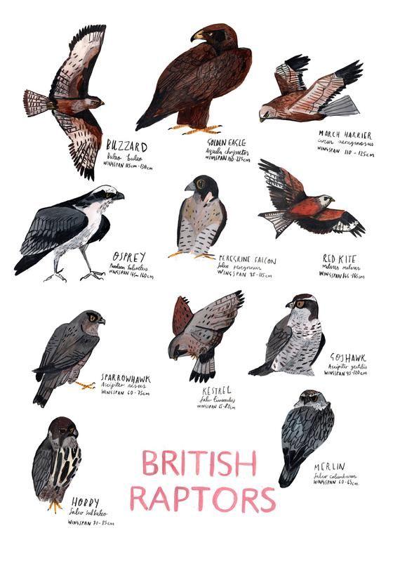 A3 British Raptors Poster Etsy In 2020 British Birds Identification British Birds Of Prey Bird Illustration