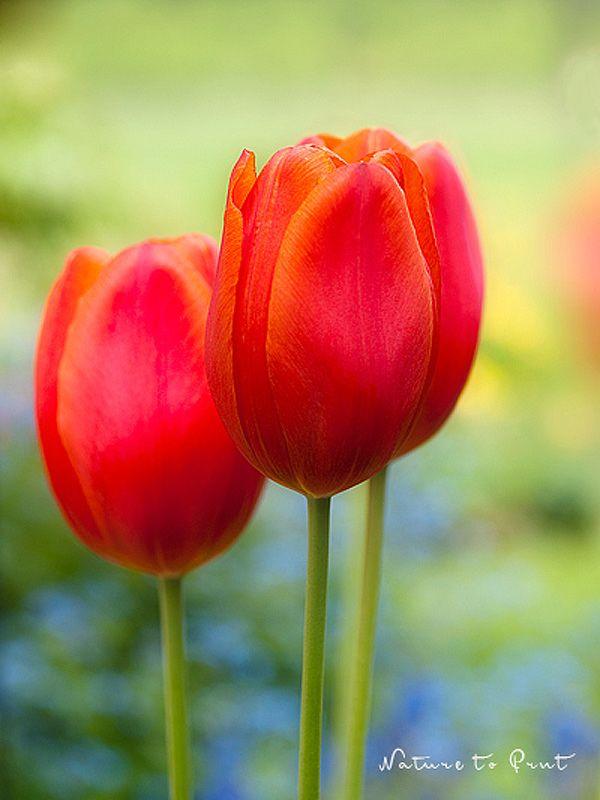 121 best Tulpenbilder   Tulips   Tulpen images on Pinterest ...