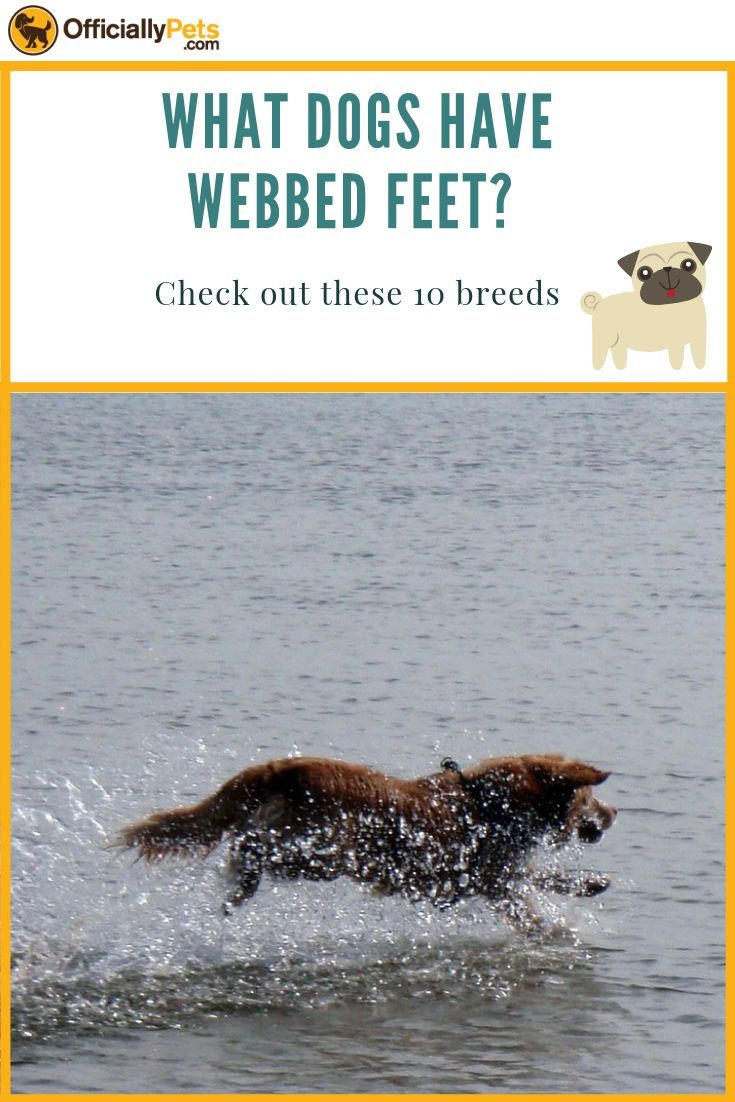 What Dogs Have Webbed Feet Why Here S 10 Breeds With Webbing What Dogs Popular Dog Breeds Dogs