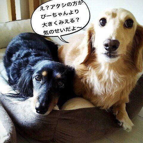 ホントに気のせいかな〜⁇😅なんか、うーちゃん、ふくれたような気が…😂 #ミニチュアダックス #ミニチュアダックス倶楽部 #ミニチュアダックスフンド #ミニチュアダックス大好き #ダックス #ダックス倶楽部 #愛犬 #犬は家族 #犬との暮らし #犬との生活 #犬との日々 #犬らぶ #犬らぶ部 #犬ばか #犬ばか部  #いぬは家族 #みにちゅあだっくす #みにちゅあだっくすふんど #短足部 #minichuaducks #instadog  #ilovemydog #癒しわんこ #たんそく部  #今日のわんこ #今日のダックスフンド #ミニチュアダックスクリーム  #minichuadachs  #minichuadachshund