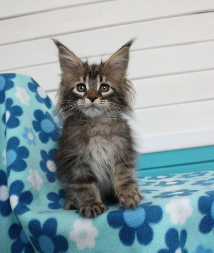New!!!elite Maine Coon Kitten From Europe With Excellent Pedigree. In Excellent Breed Type. Male. Ximba in - Hoobly Classifieds