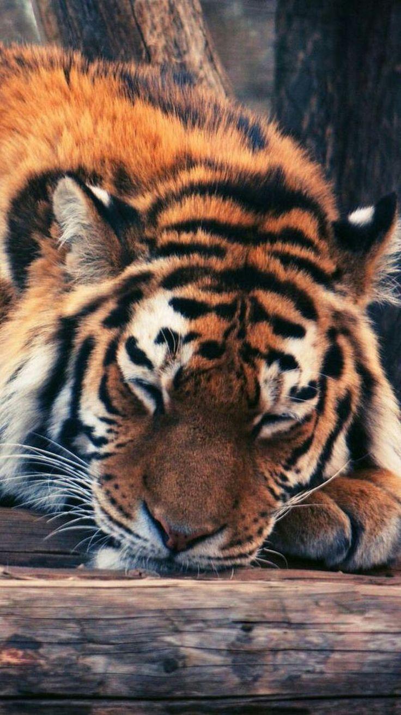 The beauty of Tigers.. #BigCatFamily – animals