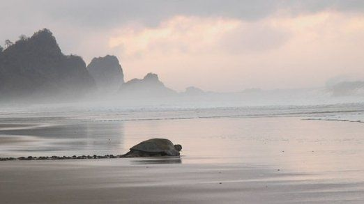 As the sun rises in the eastern bay of Sukamade, another green sea turtle is taken out to sea. Photo by David Arthur.