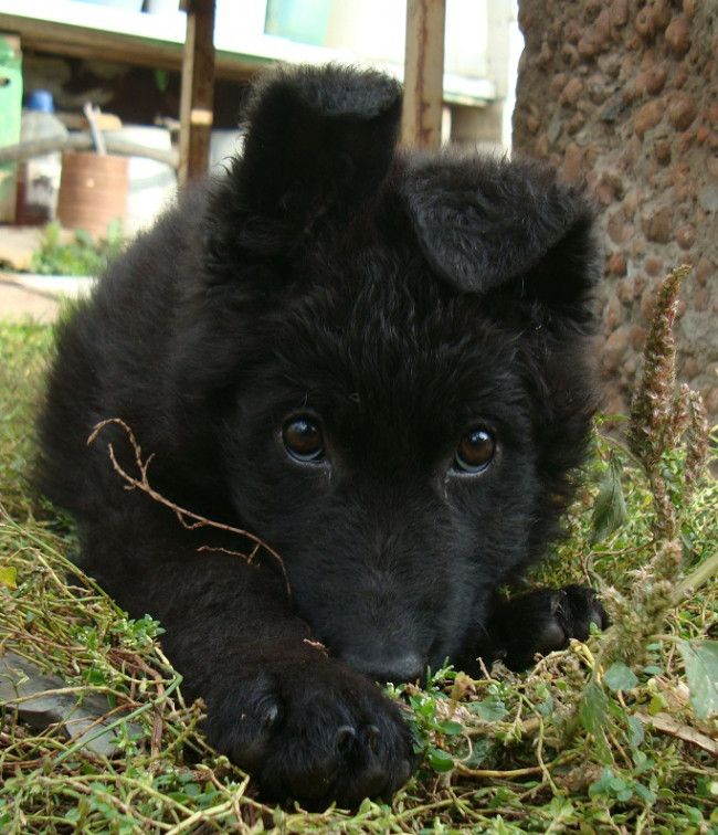 Black German Shepherd - 27 Pictures. #Puppies #Animal