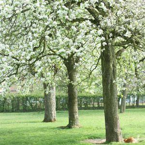 Hoogstam fruitboom tuin pinterest meer idee n over tuinontwerp boerderij en fruit - Landschapstuin idee ...