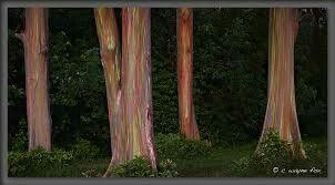 Hawaiian Rainbow Tree