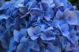 Billedresultat for blue flower photo