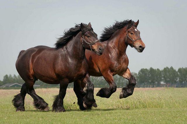 Trekpaarden Draft Horses Chevaux de Trait descendants of Dutch or Belgian draft......  beautiful.....pure power! What Beautiful handsome animals!!