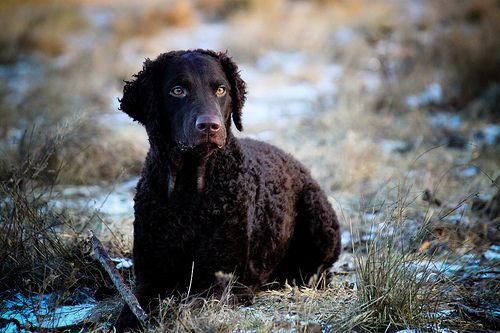 Curly Coated Retriever #mydogspace