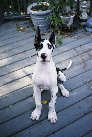 Harlequin Great Dane. Can't wait till I can have another one!!!!