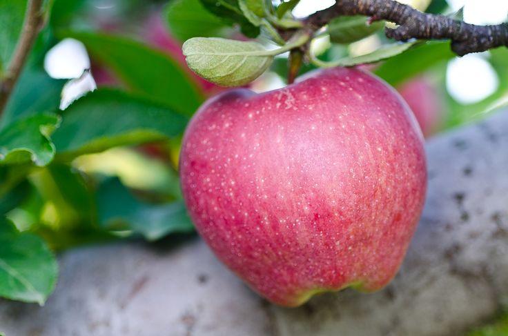 jablko_starkrimson_delicious_1