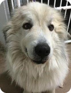 1/16/15 Siren, WI - Great Pyrenees. Meet St Nicholas, a dog for adoption. http://www.adoptapet.com/pet/12265736-siren-wisconsin-great-pyrenees