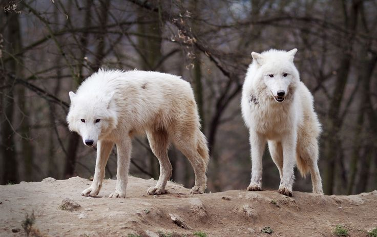 Wolves are some of the most loving, loyal and devoted family animals on the planet.