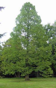 #Urweltmammuntbaum im Frühjahr