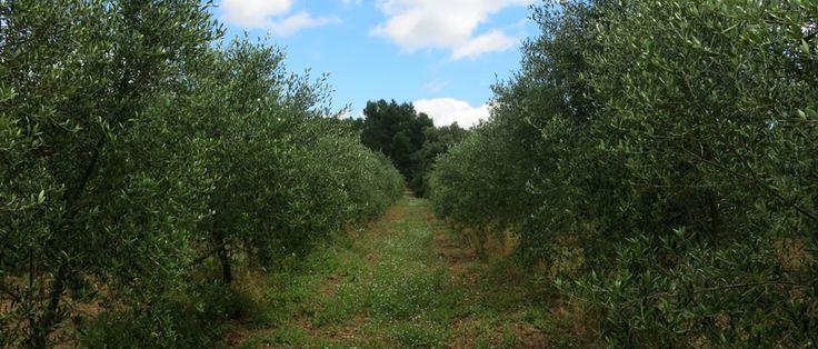 2014 Mas d'en Josa Arbequina olive trees
