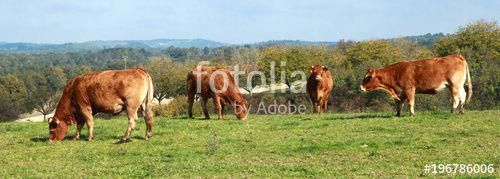 "Download the royalty-free photo ""Vaches limousines au champ"" created by hcast at…"